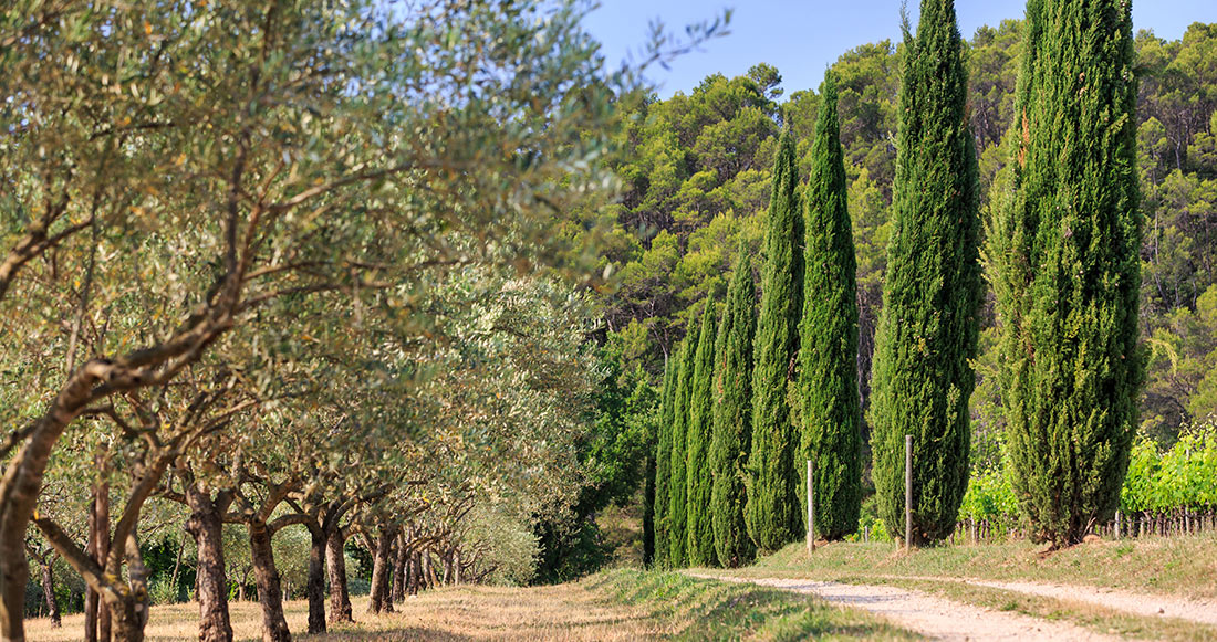 The path to the domain, with Cypresses on the side of the road.